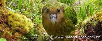 Conheça os kakapos, os papagaios com cara de coruja da Nova Zelândia - Mega Curioso