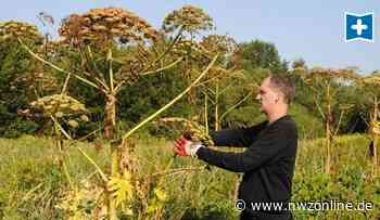 Riesenbärenklau In Der Gemeinde Edewecht: Vorsicht vor dieser Pflanze am Wegesrand - Nordwest-Zeitung