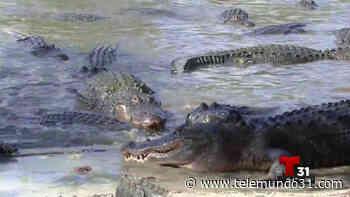 Comienza la temporada de apareamiento de los caimanes - Telemundo 31