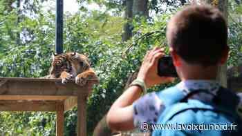 Maubeuge : à peine arrivés, les tigres de Sumatra déjà admirés - La Voix du Nord