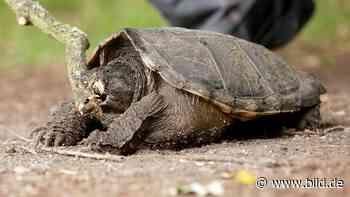 Weil es immer mehr werden - Viersen will Schildkröten abschießen - BILD