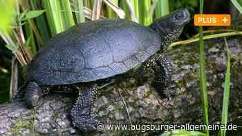 Warum diese Schildkröte einen DNA-Test machen musste - Augsburger Allgemeine