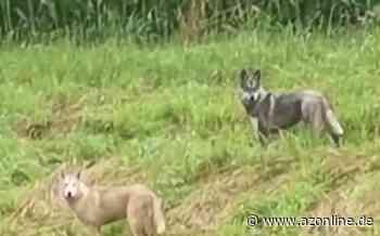 """Spekulationen auf Facebook: """"Wölfe"""" in Sassenberg sind doch nur Hunde - Münsterland - Allgemeine Zeitung"""