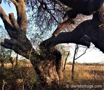 Advierten sobre la tala de dos algarrobos en los barrios General Bustos y Crucero Sud - Diario Tortuga - Alta Gracia