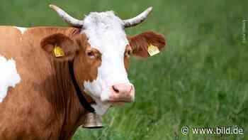 Saarland/Heinsberg: Kühe verletzen Wanderer schwer - BILD