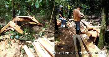 Arboricidio en Acacías: Tumban casi dos hectáreas de bosque - Semana