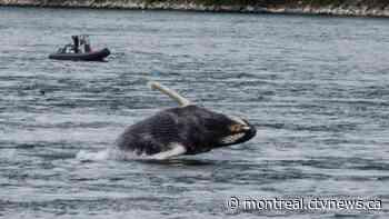 Quebec singer urges humpback to 'Get Back' to Tadoussac - CTV News