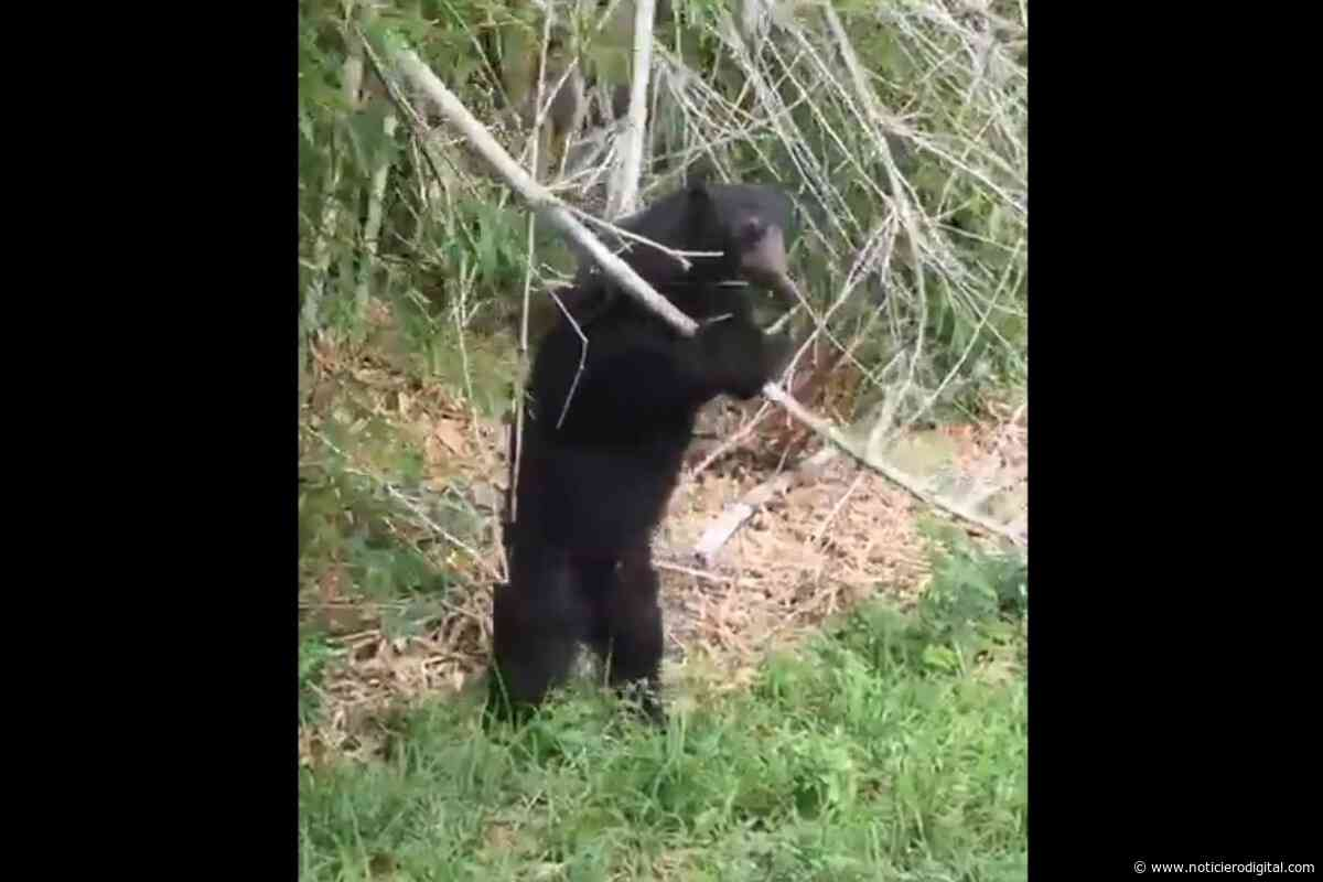 Oso frontino se escapó de su jaula en zoológico de Lara buscando comida - Noticiero Digital