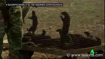 ¿Por qué se sacrifican a los 92.700 visones de Teruel y no se contempla esta medida para gatos o perros? - laSexta
