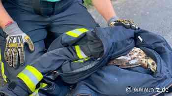 Weeze: Feuerwehr rettet Greifvogel mit gebrochenem Flügel - NRZ