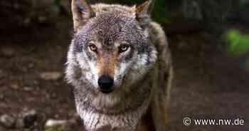 Wolf im Kreis Paderborn bei Lichtenau nachgewiesen - Neue Westfälische