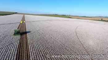 Campo Novo do Parecis deverá colher aproximadamente 155 mil toneladas de algodão - Notícias Agrícolas