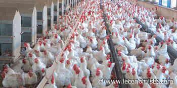 Aviculture: Alerte à la circulation du poulet vif - L'Économiste