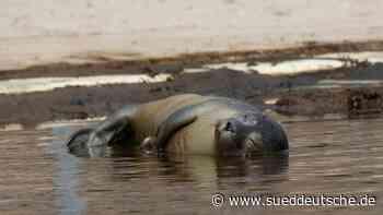 Dreifacher Nachwuchs für Seehunde im Westküstenpark - Süddeutsche Zeitung
