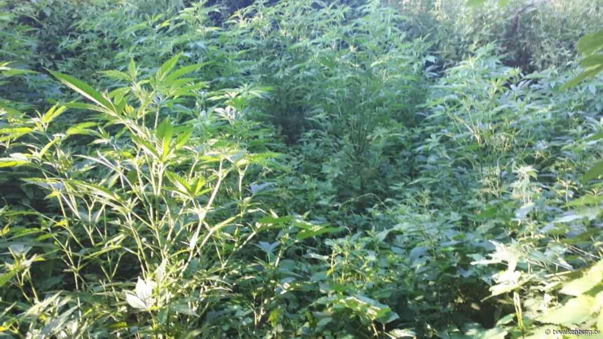 Hennepplantage in maïsveld in Schin op Geul aangetroffen • TV Valkenburg - TV Valkenburg
