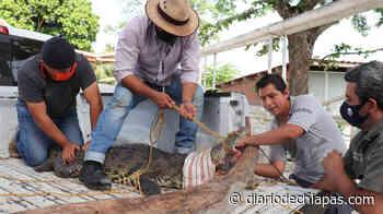 Rescatan a ejemplar macho de cocodrilo de pantano en Palenque - Diario de Chiapas
