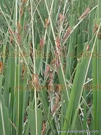 Plaga de langosta infesta cañales en zona de Paso del Macho - alcalorpolitico