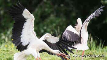 Nidderau: Zu viele Störche machen Jägern zu schaffen - Vögel machen Jagd auf Hasen - op-online.de