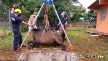 Bomberos rescatan un caballo que cayó en un pozo en Guararé - TVN Noticias