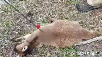 Kangaroos killed with arrows in 'cowardly' attack in Swan Hill - NEWS.com.au