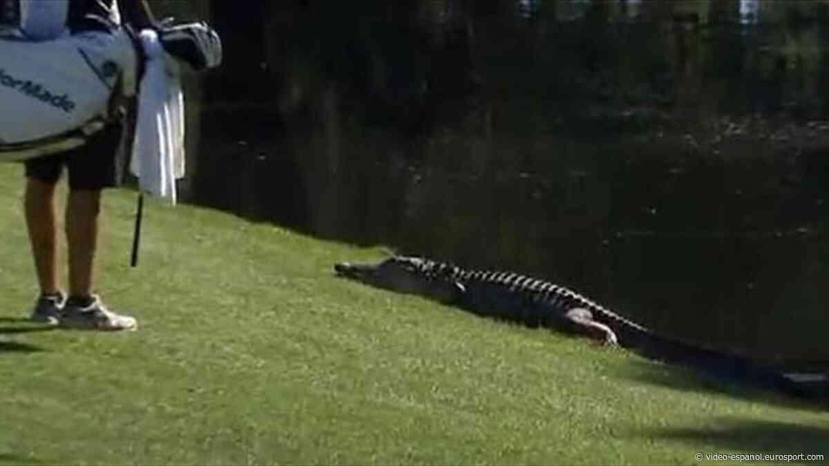 Caimanes, zorros y hasta serpientes, los nuevos visitantes de los campos de golf tras el coronavirus - Eurosport