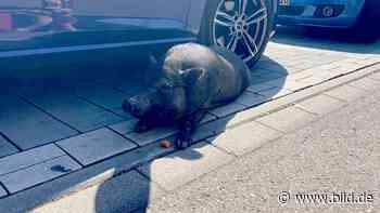 Ausgebüxtes Hausschwein behindert Autofahrer in Affalterbach - BILD