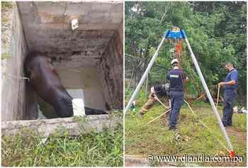 Rescatan caballo que cayó en un sumidero en Guararé - Día a día