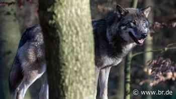 Wolf im Landkreis Garmisch-Partenkirchen bestätigt - BR24