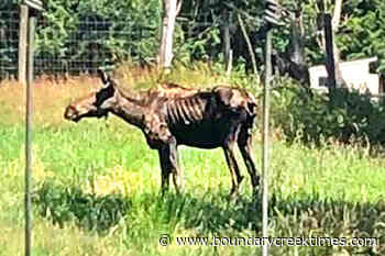VIDEO: Oakleaf the moose, 8, euthanized at Greater Vancouver Zoo - Boundary Creek Times