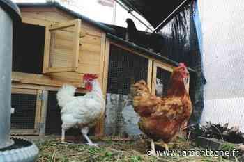 Avoir des poules à la maison : cinq spécialistes du secteur d'Issoire donnent des conseils avant de se lancer - La Montagne