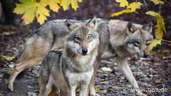 """Wolf: """"Rotkäppchen ist nicht aus der Luft gegriffen"""" - hna.de"""