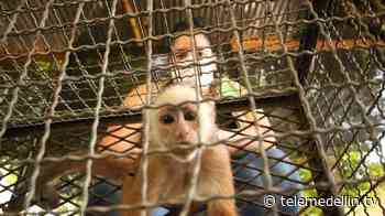 Recuperadas 22 aves, un mono cariblanco y una tortuga morrocoy en Yondó - Telemedellín