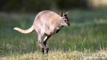 Känguru hält Stadt in Atem: In Herzogenrath bei Aachen hoppelt Tier frei herum - und ist weiterhin nicht zu finden - RND