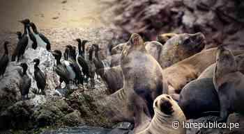 Reserva de Paracas: conoce a dos de los animales en peligro de extinción - LaRepública.pe