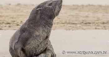 Guarda Costeira de Praia Grande resgata 86 animais marinhos neste ano - A Tribuna