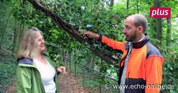 Schadet Efeu den Bäumen in Darmstadt-Dieburg? - Echo Online