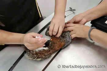 Exigen sanción para responsable de ataque a ardilla en Coatepec; una mujer llevaba a sus tres perros sin correa y ocasionaron lesiones letales al roedor - Libertadbajopalabra.com