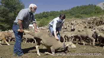 Pastores de Europa, ovejas de León - La Nueva Cronica