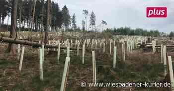 Hohe Wurzel in Taunusstein bald ohne Fichten - Wiesbadener Kurier