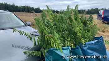 Ackerfläche in Usingen: Polizei erntet säckeweise Cannabis - hessenschau.de