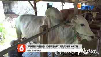 VIDEO: Jokowi Pesan Sapi Peranakan Ongole dari Peternak di Gresik - Video Liputan6.com