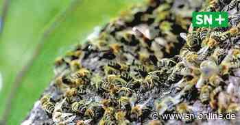 Kaum Überlebenschance: 20.000 Bienen leben in Baum neben der Polizei Stadthagen - Schaumburger Nachrichten