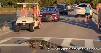 El vídeo viral de los caimanes más cívicos del mundo - Información