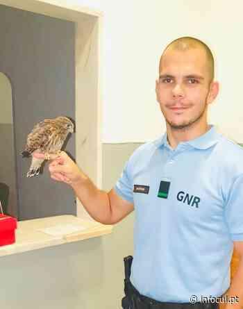 Montijo: GNR recuperou um falcão debilitado | infocul.pt - Infocul
