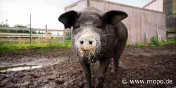Aurich: Schwein Bobby entgeht dem Schlachter und wird Influencer - Hamburger Morgenpost