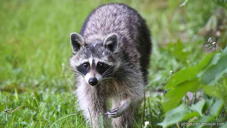 Allegheny Co. To Begin Annual Raccoon Rabies Vaccination Baiting Project