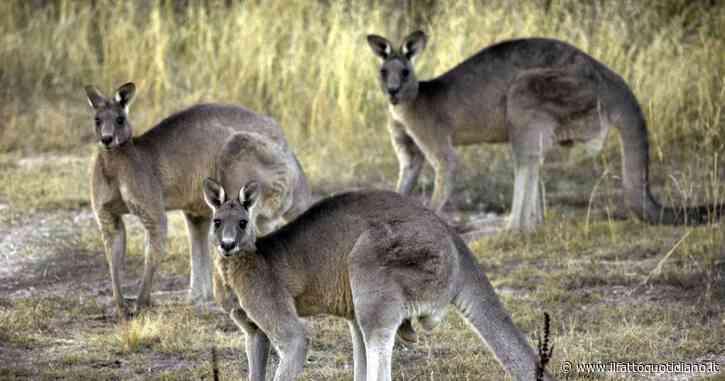 """Australia, Wwf: """"Tre miliardi di animali uccisi o in fuga per via gli incendi. Uno dei peggiori disastri naturali della storia"""""""