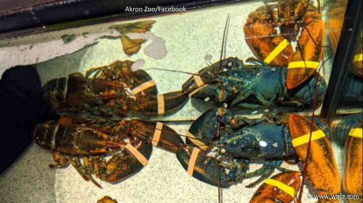 Seafood restaurant employees spot and save rare blue lobster