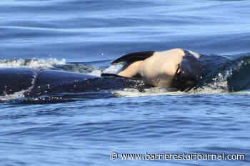 Southern resident orca who carried her dead calf is pregnant again - Barriere Star Journal