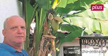 Bananenbäume wachsen auch im Landkreis Darmstadt-Dieburg - Echo Online